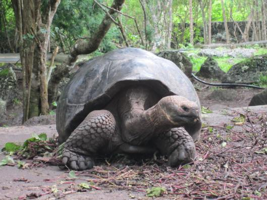 Giant Tortoise on Floreana Island