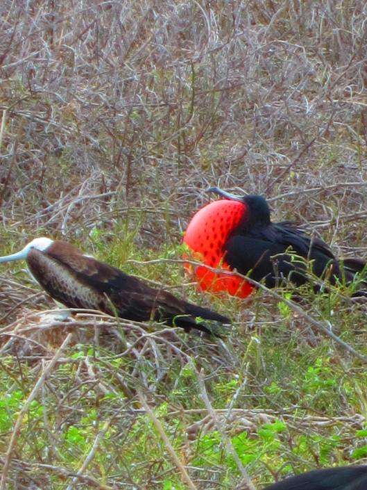 Male Frigate bird trying to attract a mate