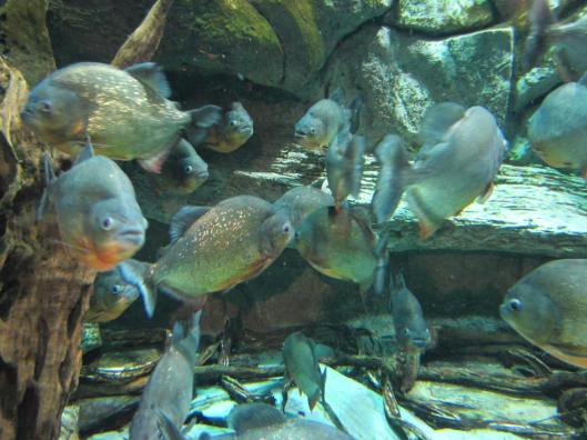 Piranhas at the Aquarium