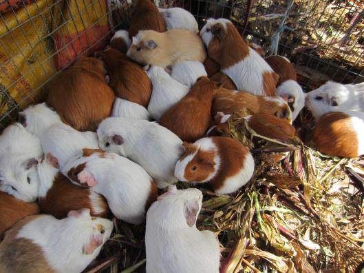 Guinea Pigs - yummy?