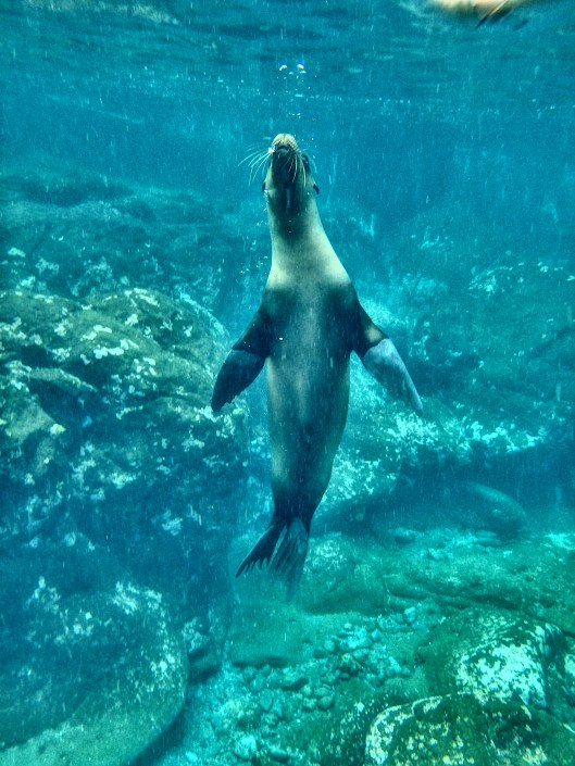 Sea Lion underwater