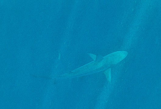 Shark at Kicker Rock