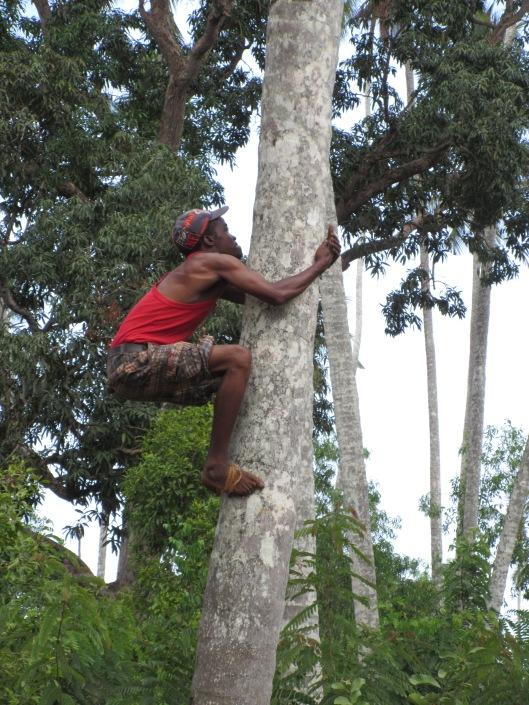 climbing a palm tree