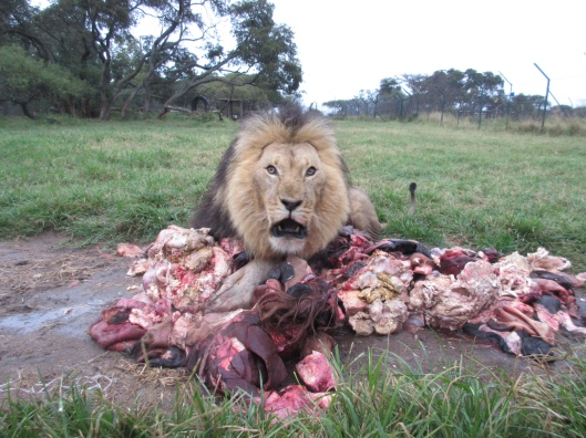 Lion with his carcass at the Lion Feed