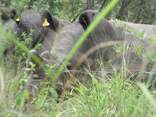 One of the White Rhino we observed at very close range