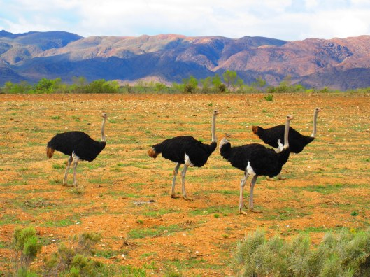 Ostriches in the Ostrich capital of the world