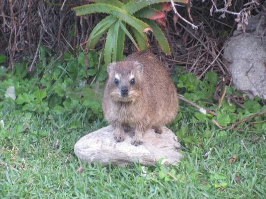 A cute little Dassie in Storms River
