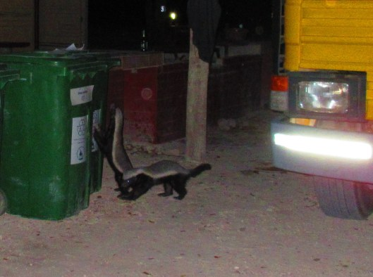 Cheeky Honey Badgers right before they upturned the trash cans