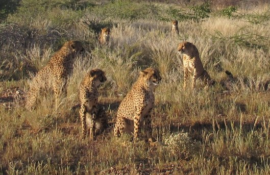 Cheetahs, cheetahs, everywhere...but waiting to be fed?  please....