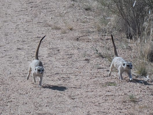 Meerkats following us!