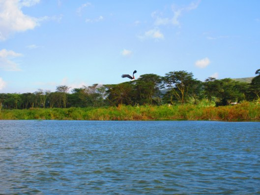 Fish Eagle above Lake Naivasha