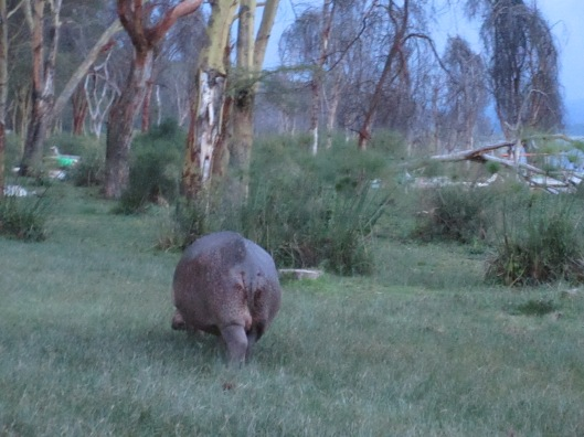Hippo strolling through camp