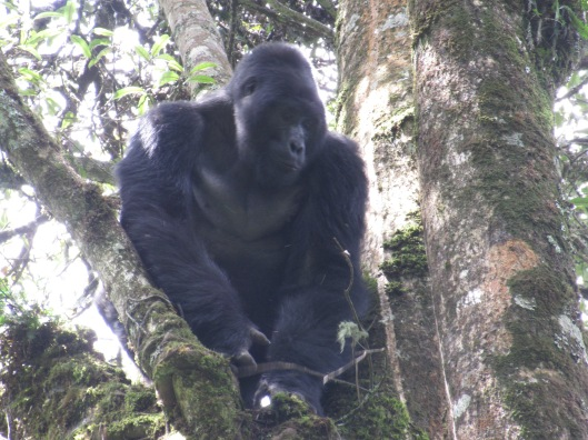 The indomitable Silverback
